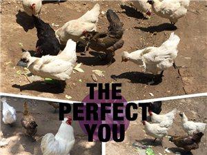 自然放养土家鸡,鸡蛋