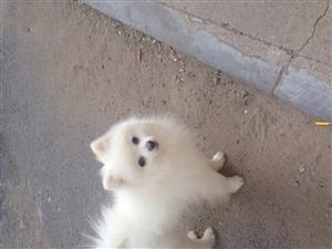 寻爱犬!!心急如焚!!