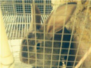 出售兔肉兔子