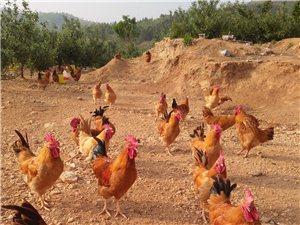 出售散養山雞