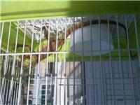 南美红鬣蜥
