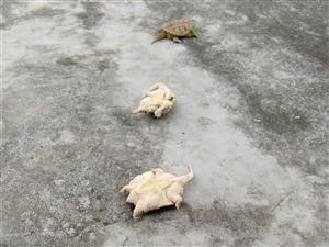 漂亮大黄龟