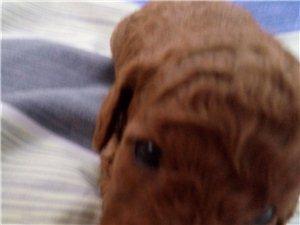 自家幼犬泰迪出售