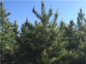 本苗圃出售各種松樹,垂柳,饅頭柳