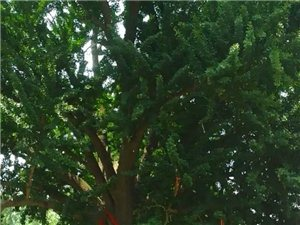 自行游千年白果樹