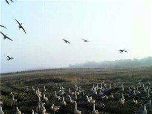 出售生態放養大雁