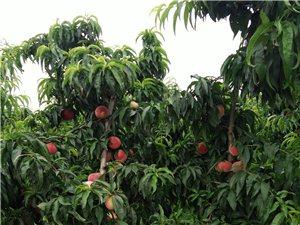 遂之鲜桃园鲜桃采摘