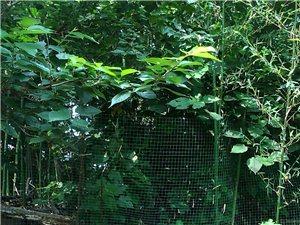 原生態竹林草藥雞