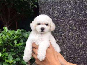 出售��物狗