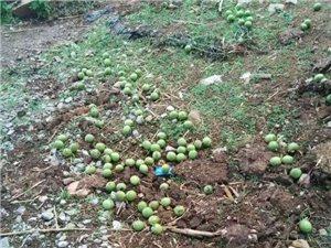 不幸遭遇台风,农村核桃合作社受灾