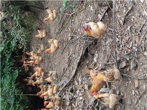 8個月散養土雞,價格你來定!