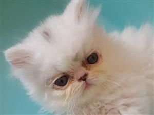 出售两个月的纯白加菲猫一只、两岁半母加菲猫一只