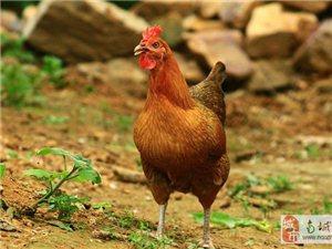 本地散養土雞