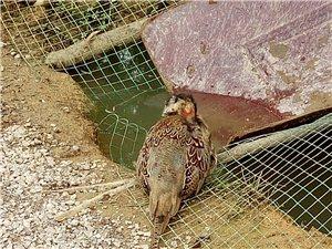 原生態野雞養殖基地!