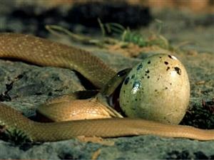 一起见证蛇是如何吞蛋的