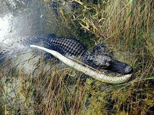 园区为治理蟒蛇竟不惜放出巨鳄