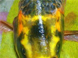 湖南发现人面鲤鱼