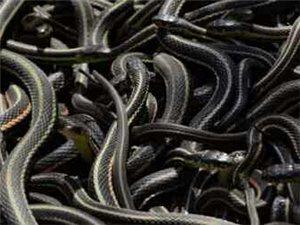 世界上最大规模的蛇群集体苏醒