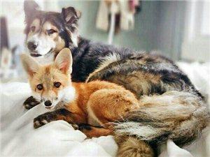 狐狸遇上命中注定的狗狗之后