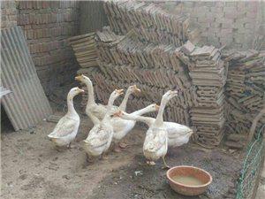 自家鹅产的鹅蛋便宜出售