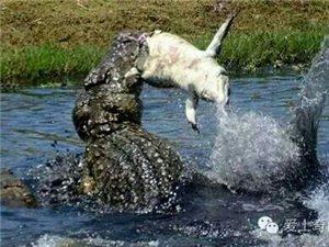 太残暴!实拍食人鳄水中暴虐小鳄鱼