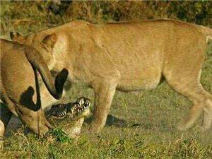 一只鳄鱼想要偷袭幼狮,被母狮发现之后的悲惨遭遇