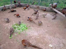 甘谷野鸡需要的记得加我微信xz1426285361