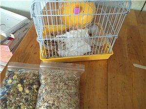 邛崃本地出售家养仓鼠