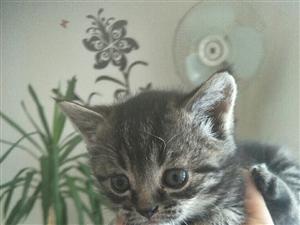 出售美短幼猫