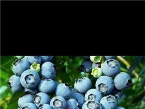 蓝莓鲜果  好吃不贵
