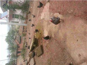 純山地放養土雞,