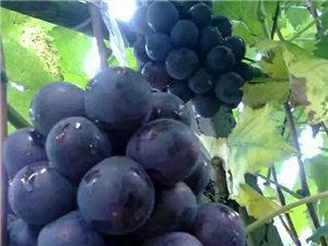 葡萄熟啦??????