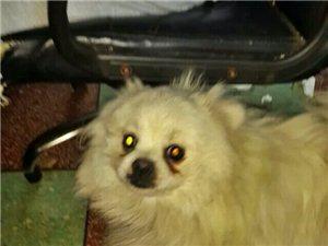 两岁博美犬走失,希望好心人提供线索,谢谢!