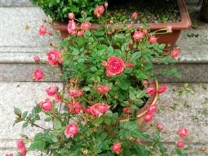 我家阳台的花开了