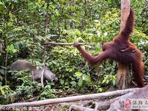 东南亚母猩猩挥树枝保护幼崽吓退野猪