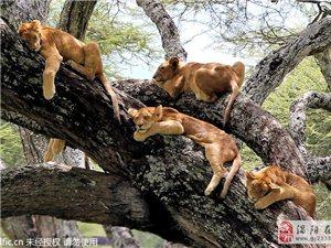 坦桑尼亚狮群承包大树 集体打盹