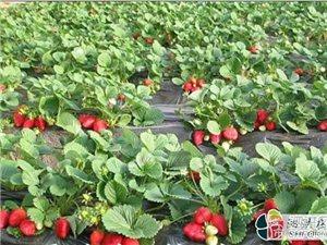 孕妈草莓采摘活动[泗洪县]