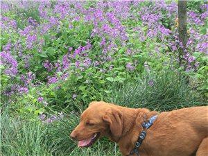 本人丢失一爱犬,在美丽家园对面走丢,如有见到并送来必重金酬谢