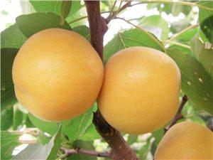 #星期天到�{田#�{田�A胥杏花谷的大�y杏就要熟了,等你……