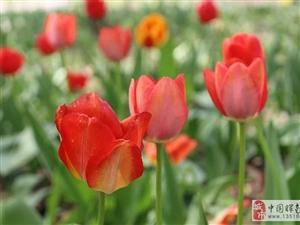长春公园的郁金香