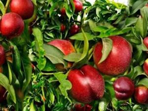 【好消息】民勤县陶中现代农业示范园第一批红珊灯油桃采摘活动将正式拉开帷