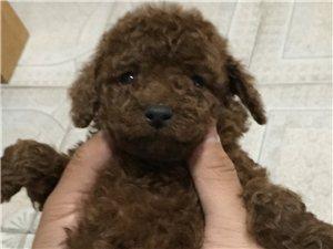 养殖场出售泰迪犬 15264624687