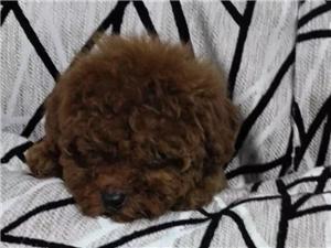 青州养殖场出售各种价位的泰迪熊 1526462467