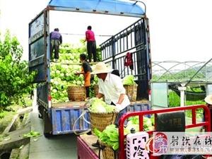 射洪县洋溪镇万亩蔬菜基地的大白菜喜获丰收