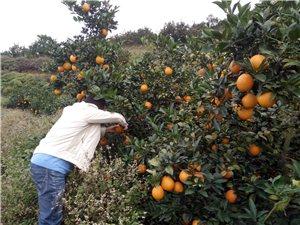 现有脐橙果园一个出售。非诚勿扰!