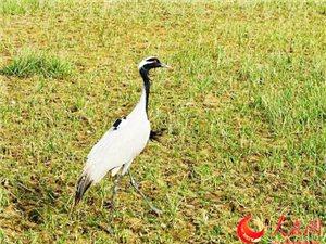 救助国家二级保护动物小蓑羽鹤重回蓝天