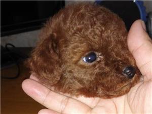 青州养殖场出售各种价位泰迪犬 15264624687 现有精小体泰迪母