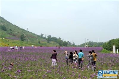 六合柳叶马鞭草盛开紫色浪漫花海美如画