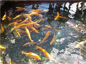 【美高梅国际美食】淡水三文鱼