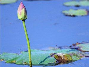 今天的龙源湖菏花池